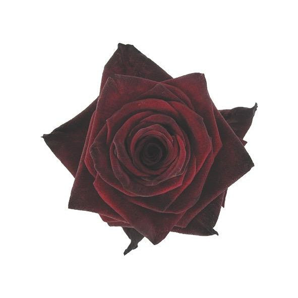 Roses Black Baccara - Mahogany Red - Ambience Flowers