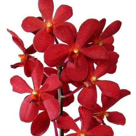 Aranda Red Orchid - Ambience Flowers