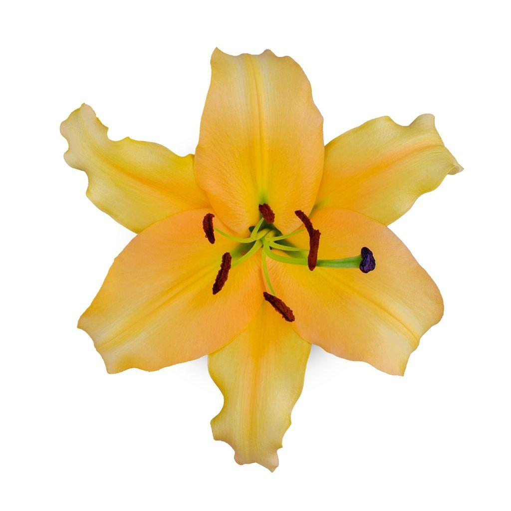 Yellow Oriental Corcovado Lilies - Ambience Flowers