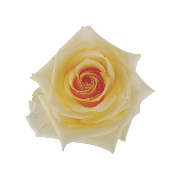Roses Cream de la Cream - Soft Cream Yellow - Ambience Flowers