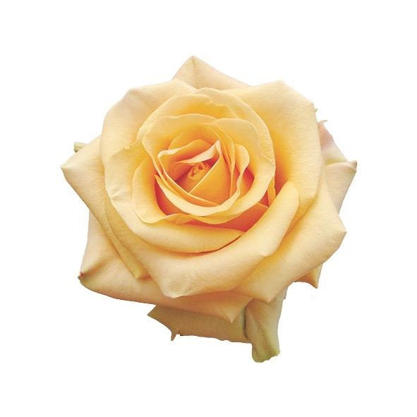 Roses Cumbia - Royal Yellow - Ambience Flowers