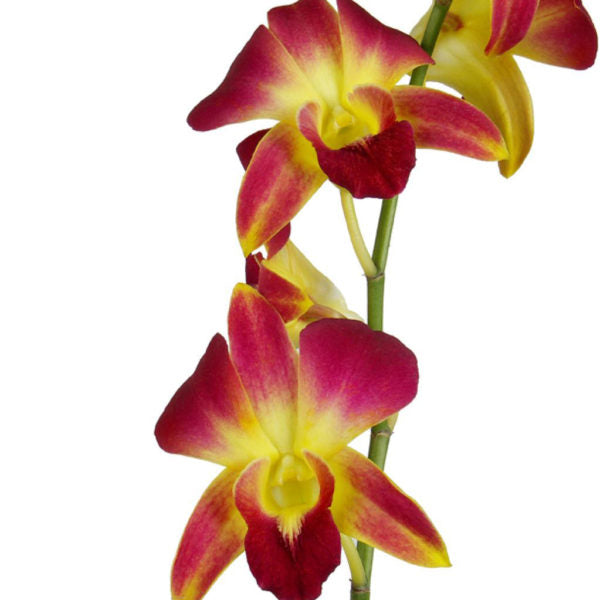 Dendrobium Dom Gold  Orchid Stem Dyed) - Ambience Flowers