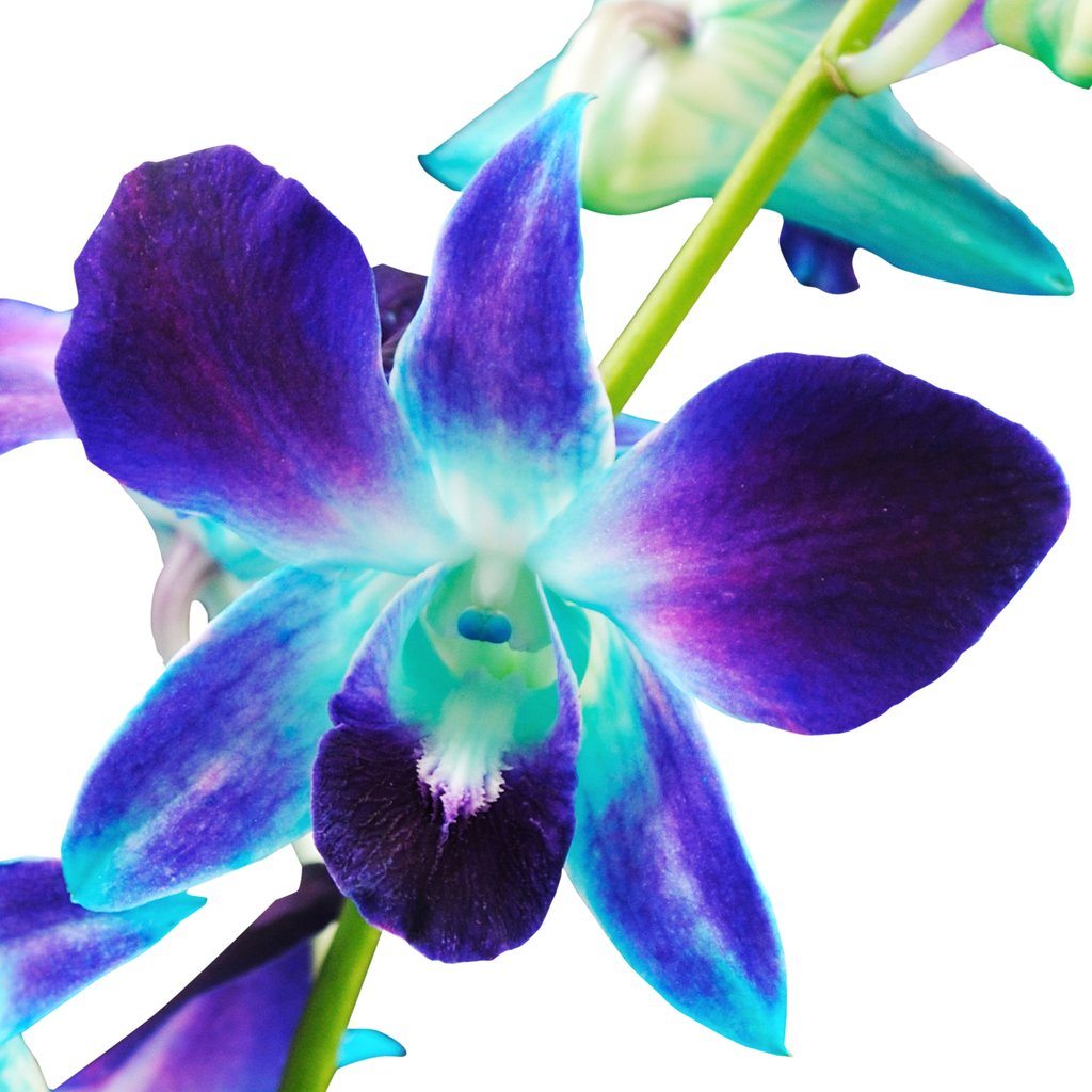 Dendrobrium Bom Blue Orchid (Stem Dyed) - Ambience Flowers