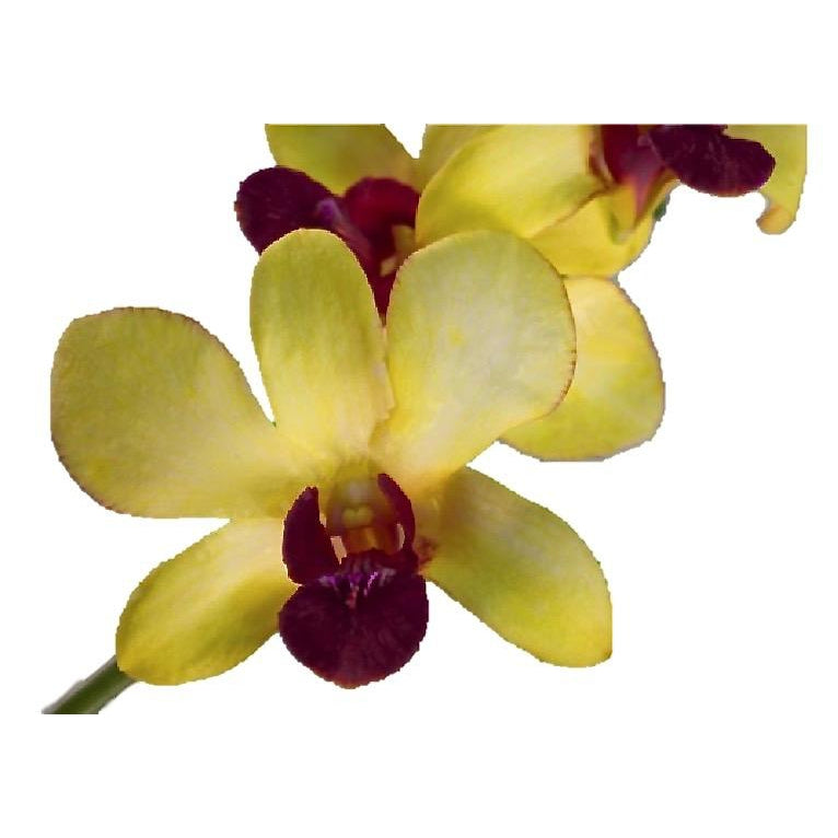 Dendrobium Classic Gold Orchid - Ambience Flowers