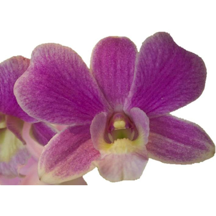 Dendrobium Pink Rice Orchid - Ambience Flowers