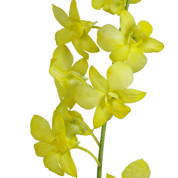 Dendrobium Fuji Yellow Orchid - Ambience Flowers