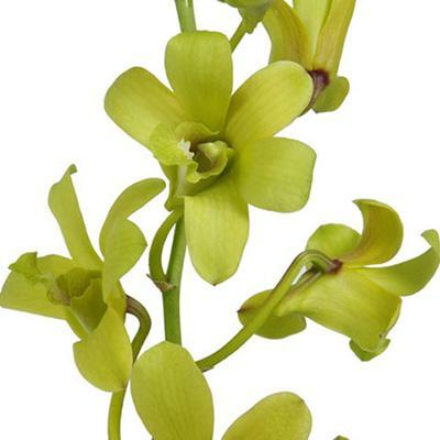 Dendrobium Evergreen Orchid - Ambience Flowers