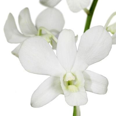 Dendrobium Pure White Orchid - Ambience Flowers