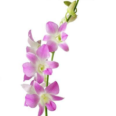 Dendrobium Doreen Pink & White Orchid - Ambience Flowers