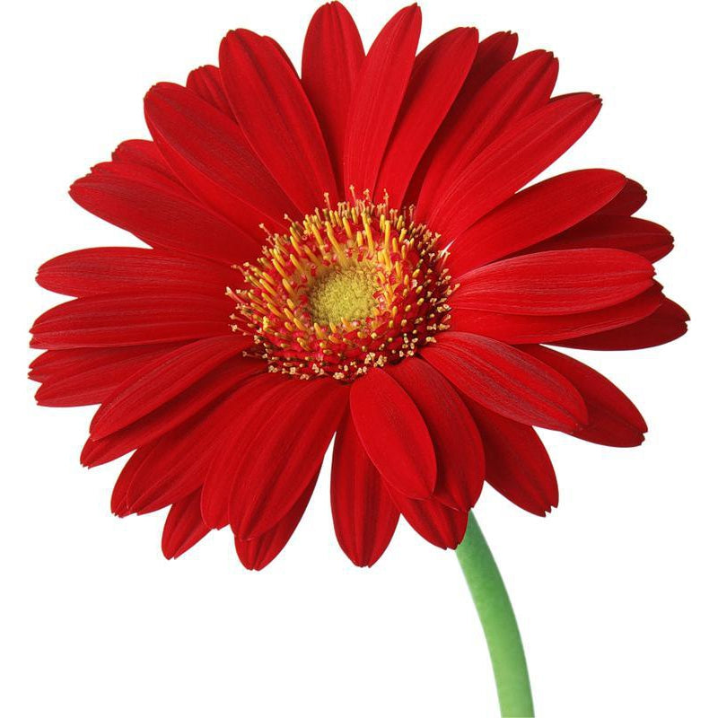 Gerberas Red - Ambience Flowers