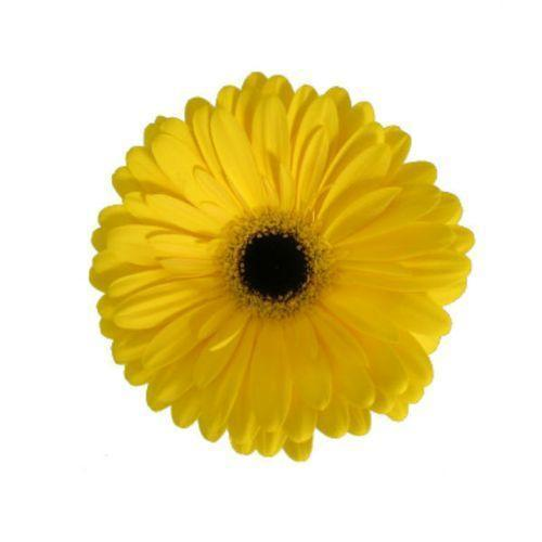 Gerberas Yellow - Ambience Flowers