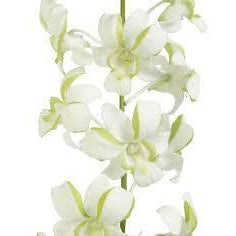 Dendrobium Lime Mist White-Green Orchid - Ambience Flowers