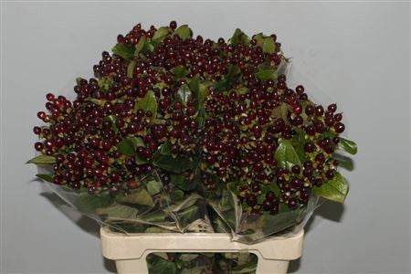 Hypericum Magical Universe Dark Burgundy - Ambience Flowers