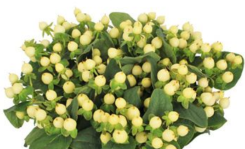 Hypericum Magical Ivory - Ambience Flowers