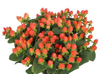 Hypericum Magical Pumpkin Peach/Red - Ambience Flowers