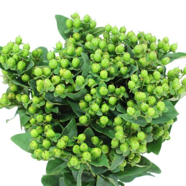 Hypericum Magical Victory Green - Ambience Flowers