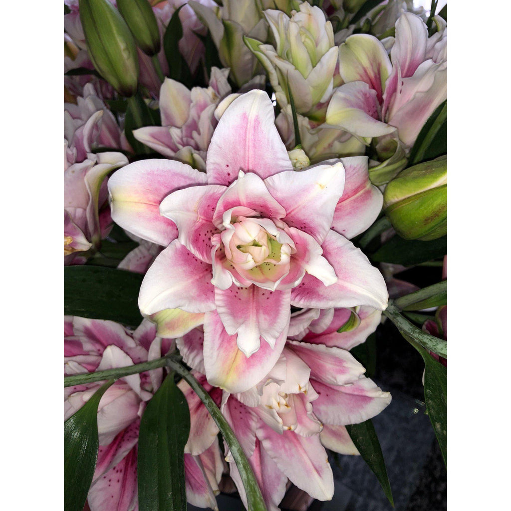Pink Isabella Roselily - Ambience Flowers