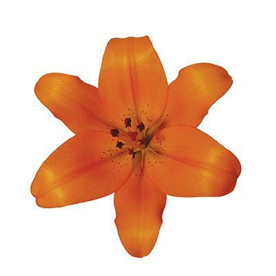 Orange Asiatic Amiga Lilies - Ambience Flowers