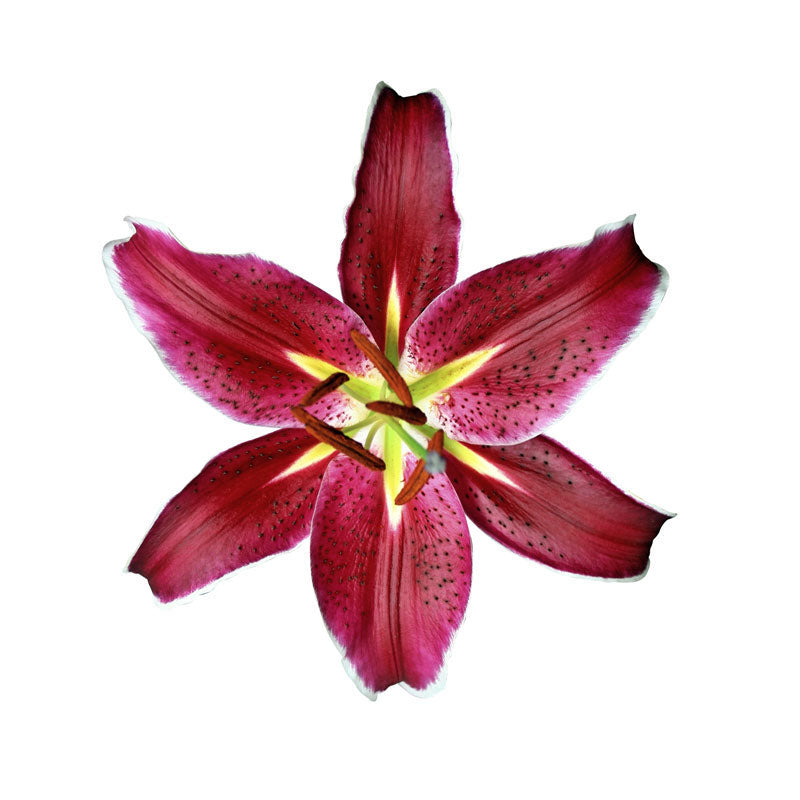 Burgundy Oriental Le Baron Lilies - Ambience Flowers