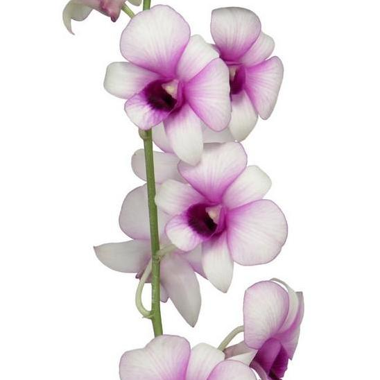 Dendrobium Pinky Lip White & Purple Orchid - Ambience Flowers