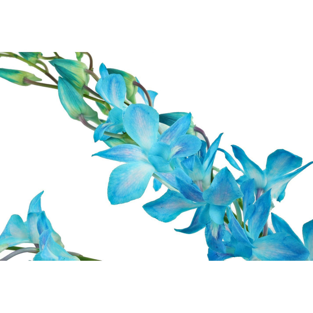 Dendrobium Miss Teen Blue Orchid (Stem Dyed) - Ambience Flowers