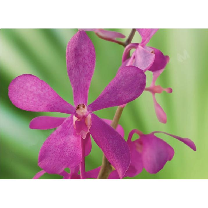 Orchid Mokara Calypso Hot Pink Orchid - Ambience Flowers