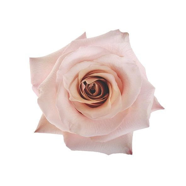 Roses Mother of Pearl - Ivory - Ambience Flowers