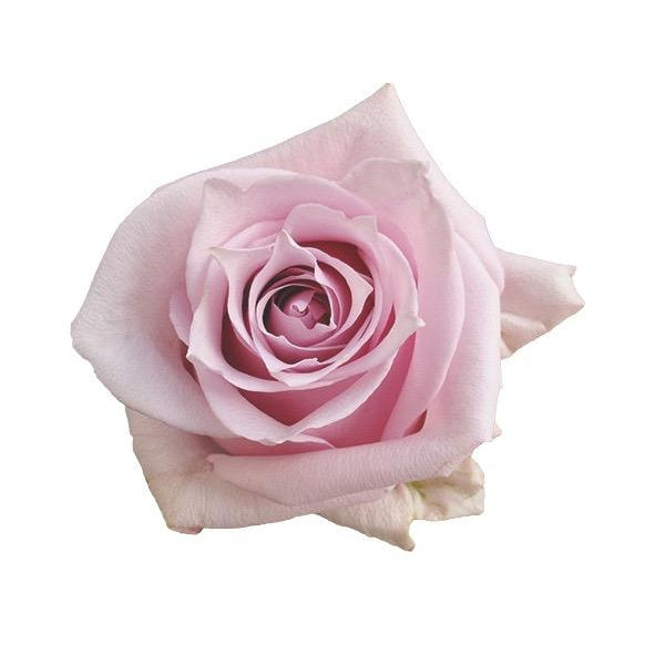 Roses Nautica - Baby Pink - Ambience Flowers