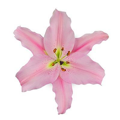 Light Pink Oriental Emani Lilies - Ambience Flowers