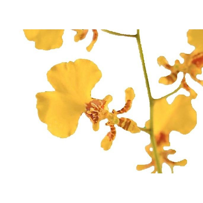 Oncidium Golden Shower Yellow & Light Brown Orchid - Ambience Flowers