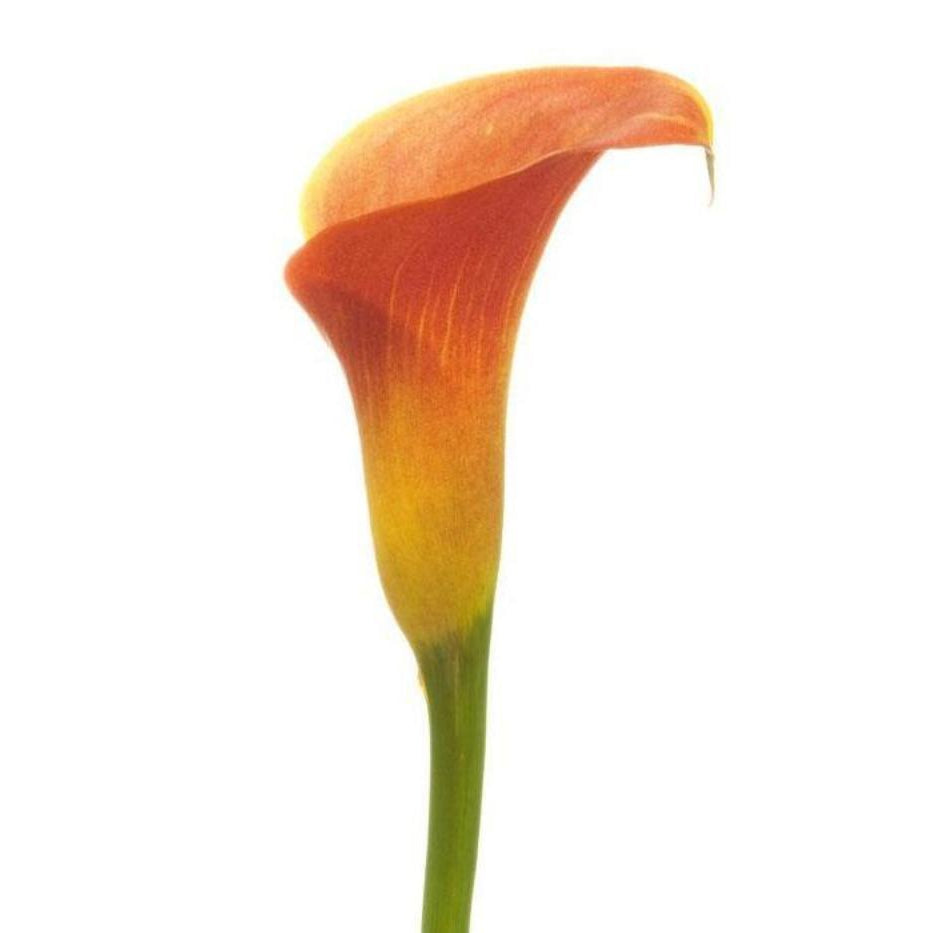 Orange Love - Apricot Orange, Fire Yellow & Chili Red Mini Callas - Ambience Flowers