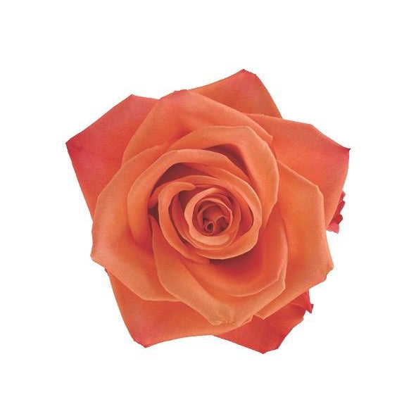 Roses Orange Crush - Bright Orange - Ambience Flowers