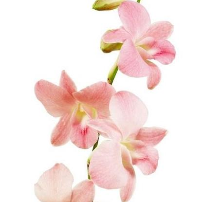 Dendrobium Jury Peach Orchid - Ambience Flowers