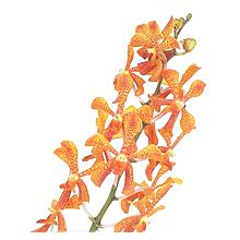 Mokara Twilight Orange & Yellow Orchid - Ambience Flowers