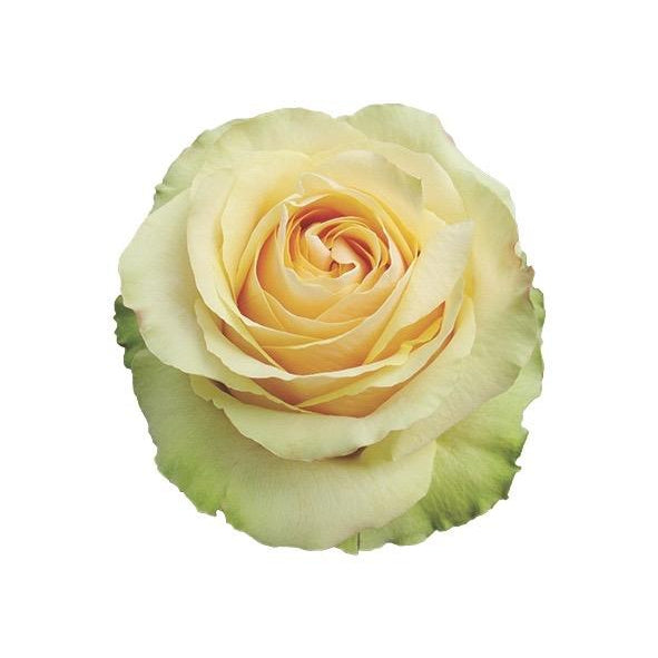 Roses Pistache - Bicolor Forest Green & Laguna Light Yellow - Ambience Flowers