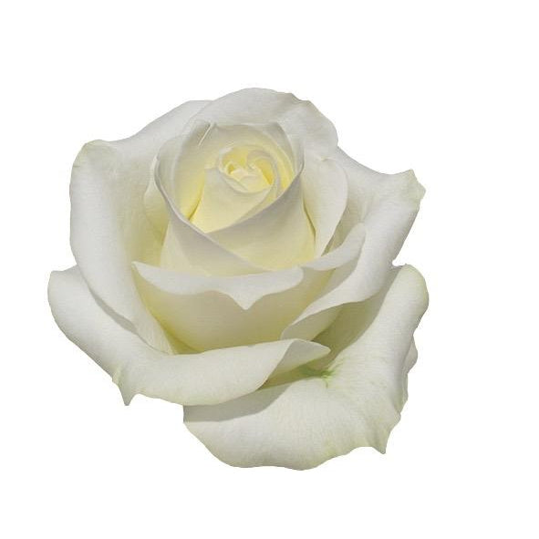 Roses Polar Star - White - Ambience Flowers