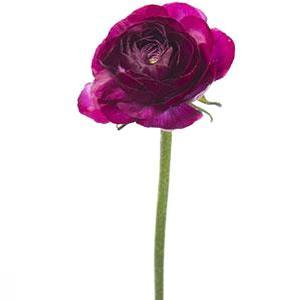 Ranunculus Purple - Ambience Flowers