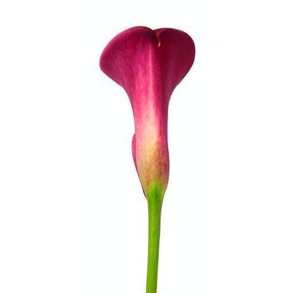 Raspberry-Raspberry Mini Callas - Ambience Flowers