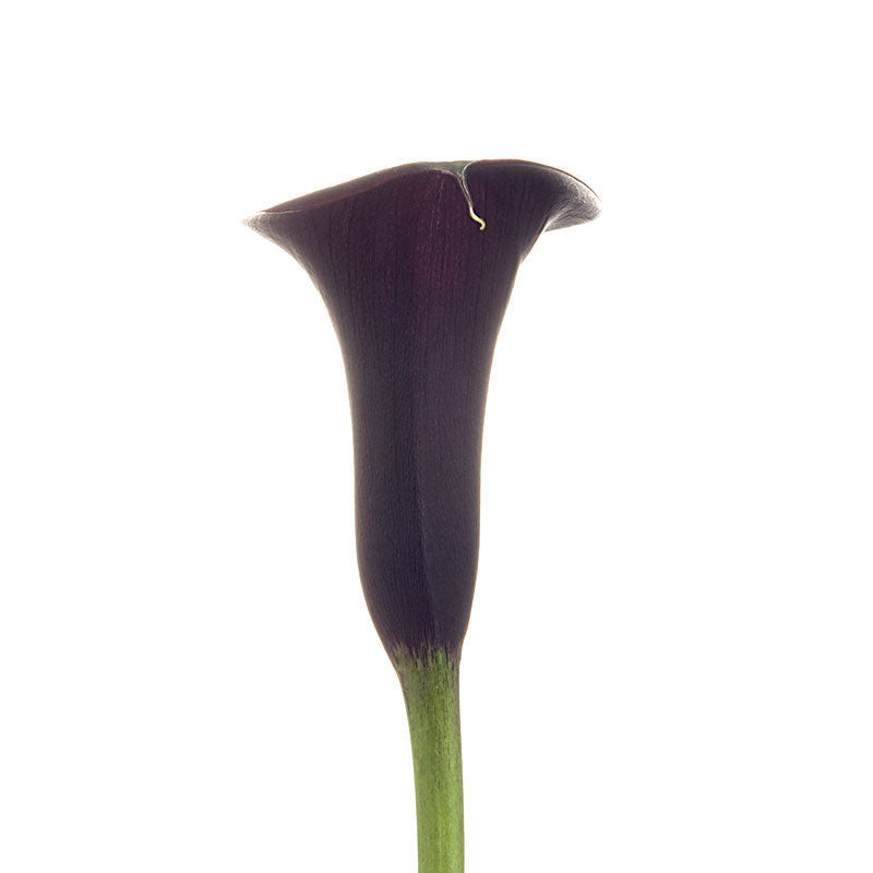 Schwarzwalder-Dark Purple Mini Callas - Ambience Flowers