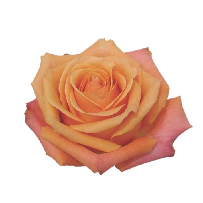 ORANGE LOVE 100 Roses Variety Box - Ambience Flowers