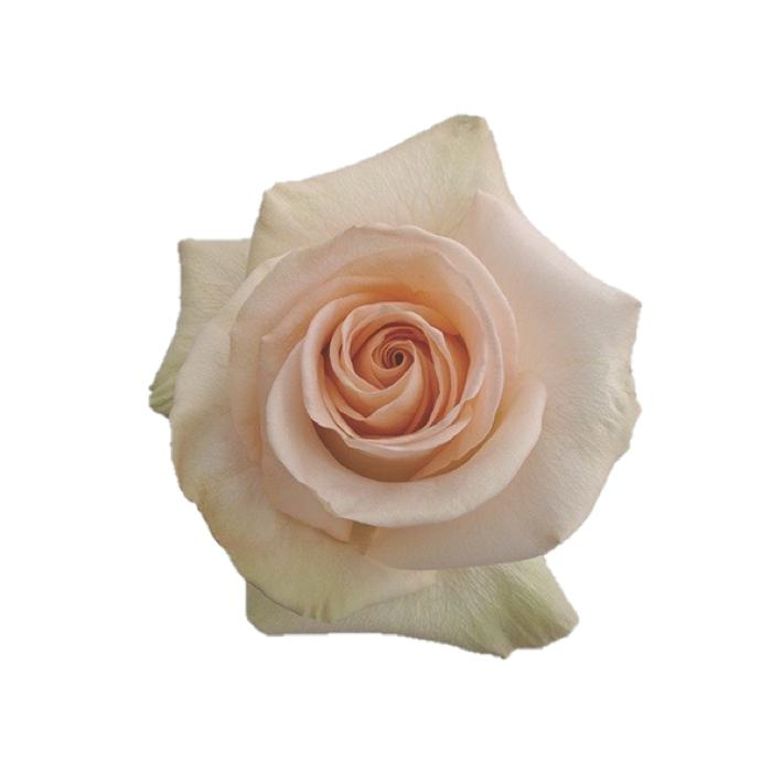 PINK & CREAM 100 Roses Variety Box - Ambience Flowers