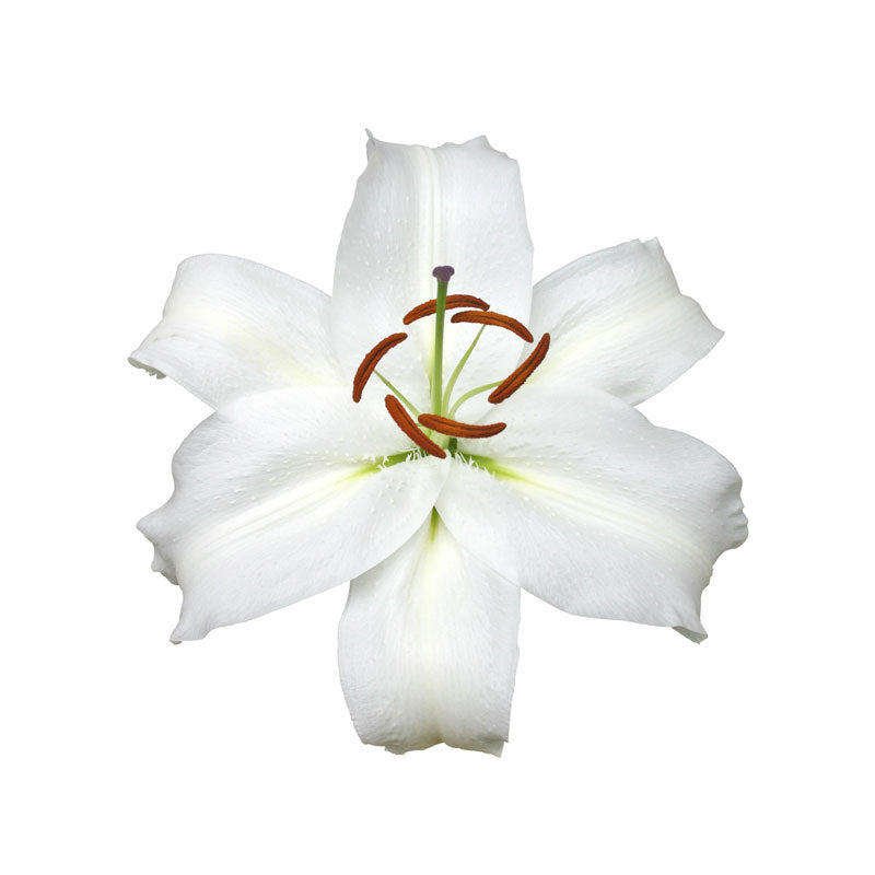 White Oriental White Cup Lilies - Ambience Flowers