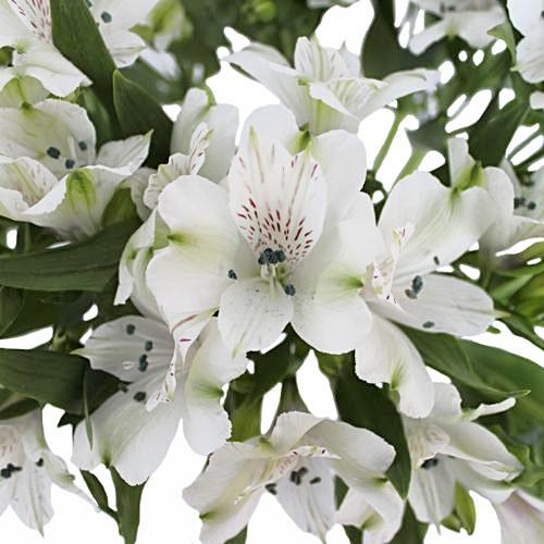 White Alstroemeria - Ambience Flowers