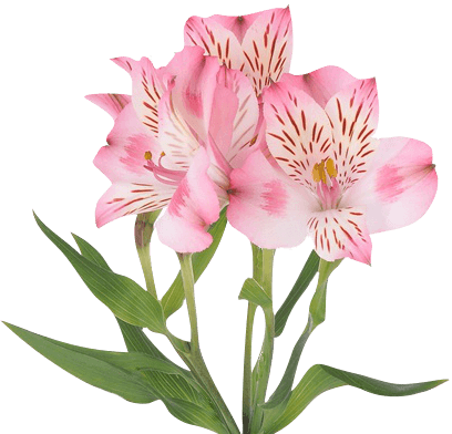 Pink Alstroemeria - Ambience Flowers