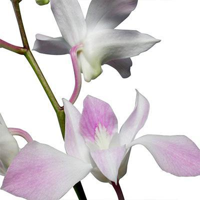 Dendrobium Misteen White-Light Purple Orchid - Ambience Flowers