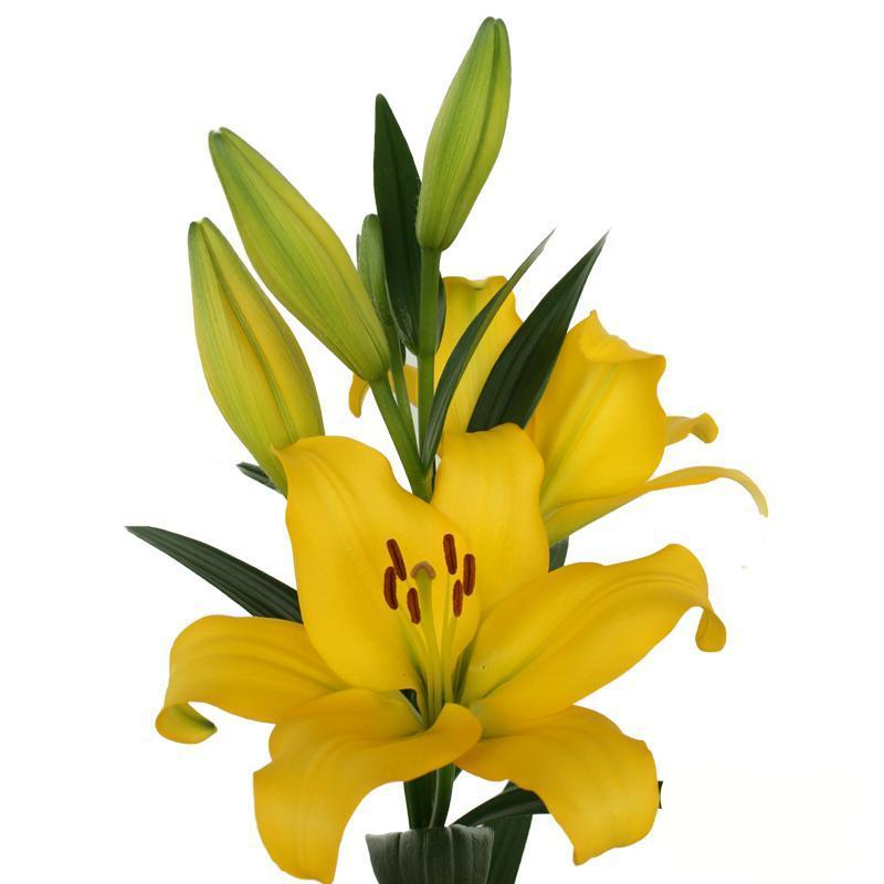 Yellow Asiatic Mynnou Lilies - Ambience Flowers
