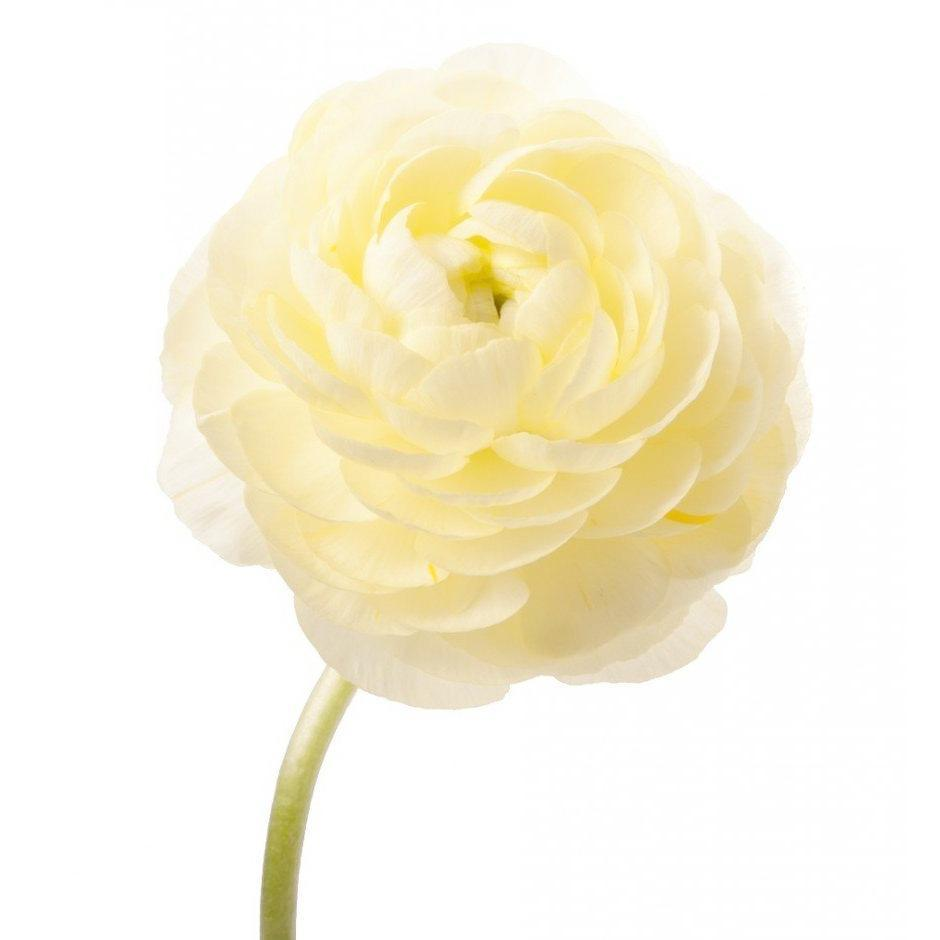Ranunculus Off White - Ambience Flowers