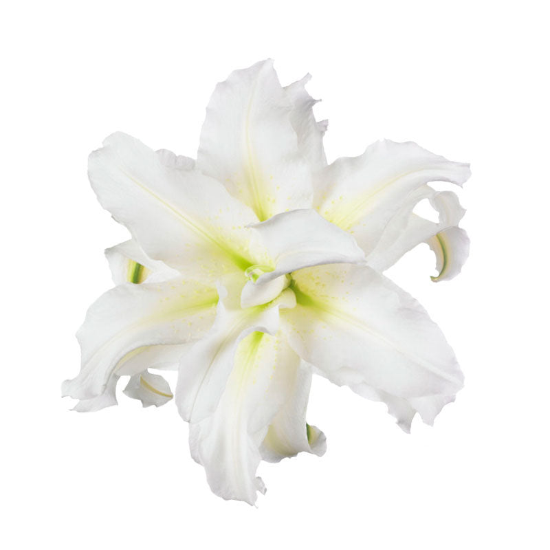 White Carolina Roselily - Ambience Flowers