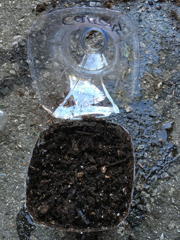 Winter sowing container filled with soil