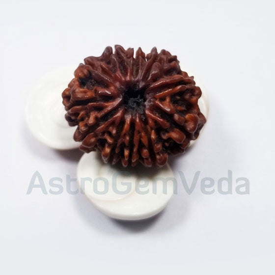 11 Mukhi Rudraksha Natural from Nepal - BASIC